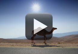 Motorista enfrenta manada de camelos na estrada