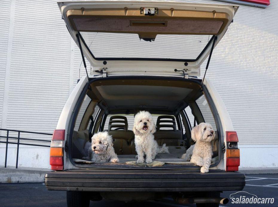 Poodles, não vê a hora de passear